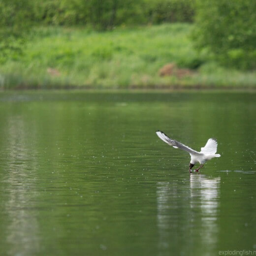 Black-headed gull diving into water