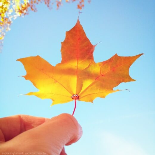 A maple leaf held against the sky