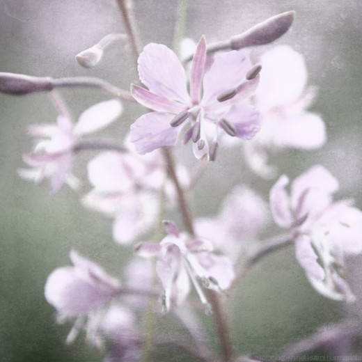 A fireweed flower on a meadow